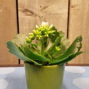 kalanchoe mini wit