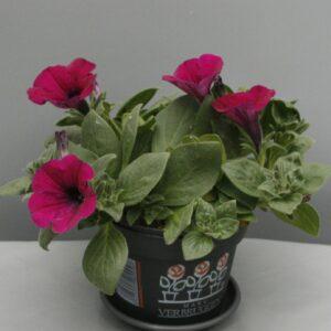 Hangpetunia purper