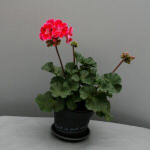 Rechte Geranium donkerbladig roze rood/wit hart