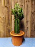 cactus euphorbia ingens (cowboycactus)