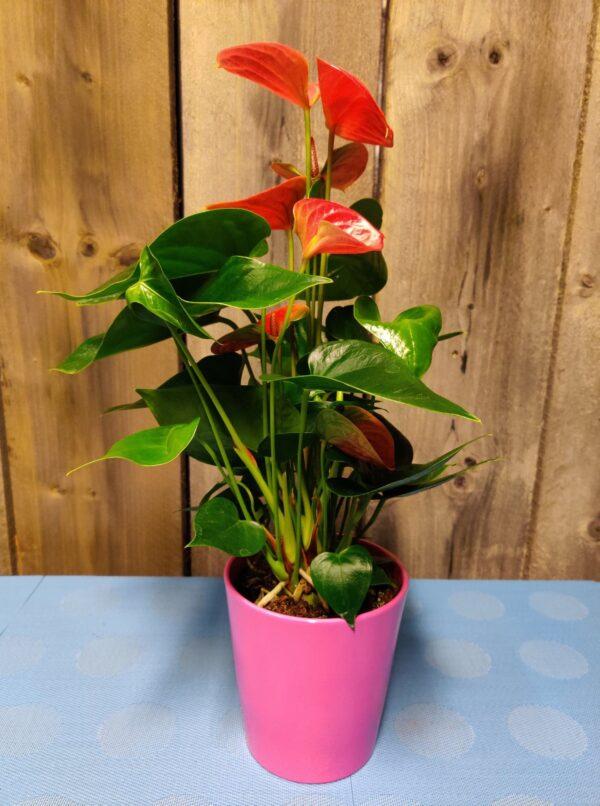 anthurium rose
