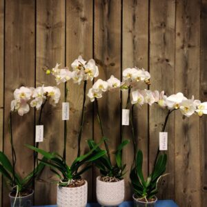 orchidee moderne