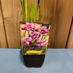 iris sibirica lmperial opal