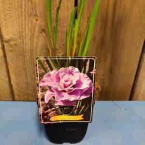 iris sibirica pink parfait