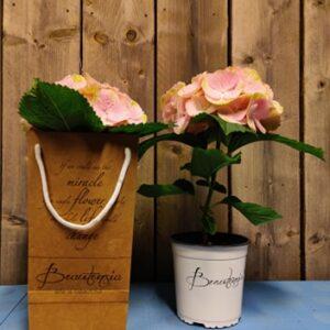 hortensia in zak 1 bloem