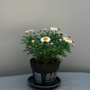 Argyranthemum wit