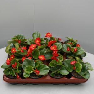Begonia groen blad rood
