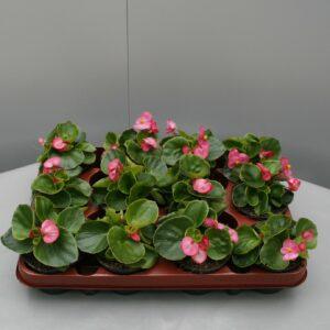 Begonia groen blad roos