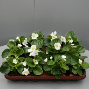 Begonia groen blad wit