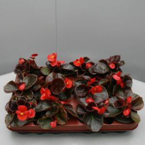 Begonia rood blad rood