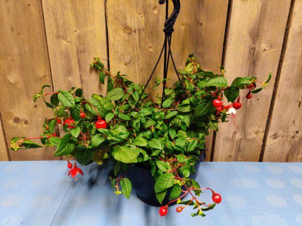fuchsia red-wit