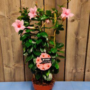 Mandeville roze