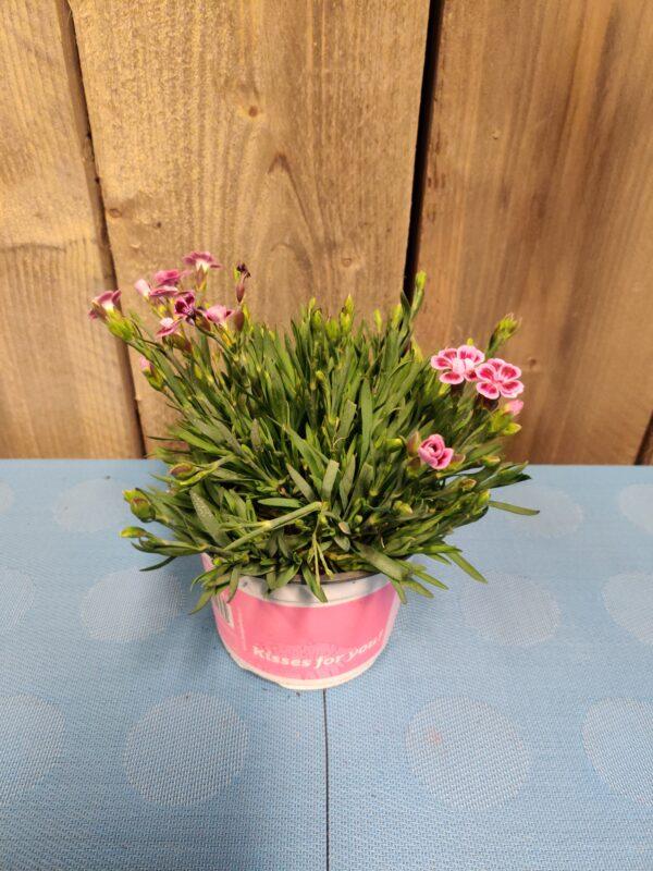 dianthus roze en wit