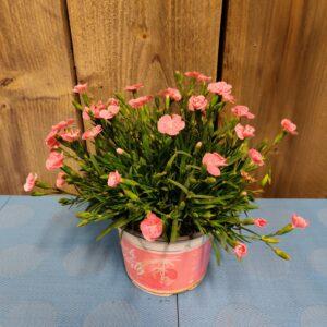 dianthus roze