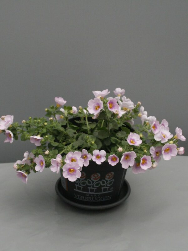 Bacopa roos