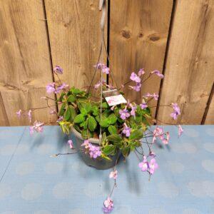 streptocarpus hang pot