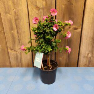Anisodontea op Stam roze
