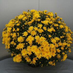 Bolchrysanten geel