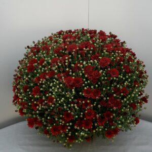 Bolchrysanten rood p19