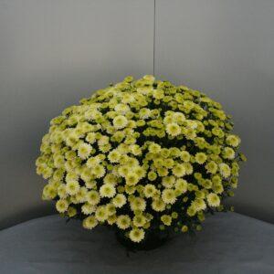 Bolchrysanten groen wit